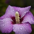 Morning Dew On Garden Flower by Jiayin Ma