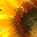 Morning Dew On Sunflower by Kimberly Perry