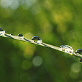 Morning Dew by Rima Biswas