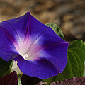 Morning Glory by Ernie Echols