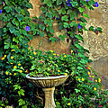 Morning Glory Garden In Provence by Dave Mills