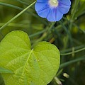 Morning Glory (ipomoea Hederacea) by Maria Mosolova