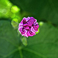 Morning Glory Puckered Up by Susan Herber