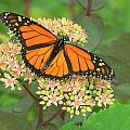 Morning Monarch by Don Downer