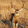 Morning Muley by D Robert Franz