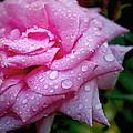 Morning Rose by Shandel  Gauthier