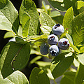 Morning Sun On Blueberries by Mick Anderson