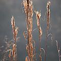 Morning Sunshine On Tall Reeds by Carol Groenen