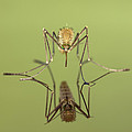 Mosquito Culicidae Freshly Hatched by Ingo Arndt