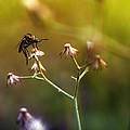 Mosquito Tiger Beefly by Yustus Waskito Budi P