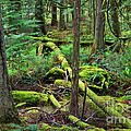 Moss And Fallen Trees In The Rainforest Of The Pacific Northwest by Louise Heusinkveld