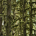 Moss Covered Trees, Hoh Rainforest by Konrad Wothe
