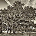 Moss-draped Live Oaks Sepia Toned by Phill Doherty
