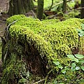 Mossy Old Stump by John Greaves