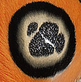 Moth Automeris Zurobara Detail Of False by Ingo Arndt
