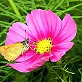 Moth On A Cosmos by Will Borden