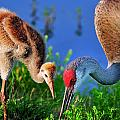 Mother And Young Sandhill Crane by Bill Dodsworth