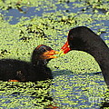 Mother Common Gallinule Feeding Baby Chick by Barbara Bowen