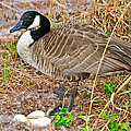 Mother Goose At Nest by Susan Leggett
