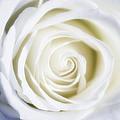 Mother's White Rose by Linda Dunn