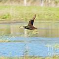 Mottled Duck In Flight by Lynda Dawson-Youngclaus