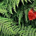 Mountain Bindweed And Fern Fronds by Bates Littlehales