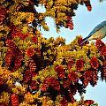 Mountain Bluebird Sialia Currucoides by Robert Postma