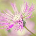 Mountain Cornflower Pink by