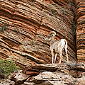 Mountain Goat by Jane Rix