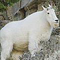 Mountain Goat by R Breslaw