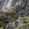 Mountain Goat by Ron Jones