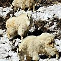 Mountain Goat Trio by Greg Norrell