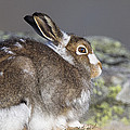 Mountain Hare by Duncan Shaw