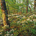 Mountain Laurel Blooming In A Hyner by Skip Brown