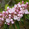 Mountain Laurel Blooming by Jeanette Oberholtzer