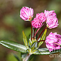 Mountain Laurel by Ted Kinsman