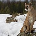 Mountain Lion Puma Concolor Sitting by Matthias Breiter