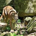 Mountain Lion by Wayne Toutaint