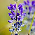 Mountain Lupine Glacier National Park by Rich Franco