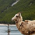 Mountain Sheep 1639 by Larry Roberson