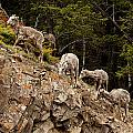 Mountain Sheep 1668 by Larry Roberson