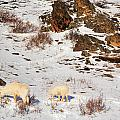 Mountain Sheep by Dendra Chavez