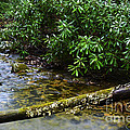 Mountain Stream And Rhododendron by Thomas R Fletcher