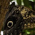 Mournful Owl Butterfly by Perla Copernik