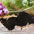 Mourning Cloak Butterfly Lovin' by Heidi Smith