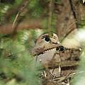 Mourning Dove Nesting by Elaine Mikkelstrup