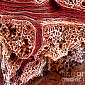 Mouse Lung, Sem by Science Source