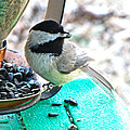 Mouth Full Chickadee by Debbie Portwood