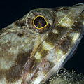 Mouth Of A Variegated Lizardfish, Papua by Steve Jones