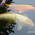 Mr And Mrs Koi by Susan Herber